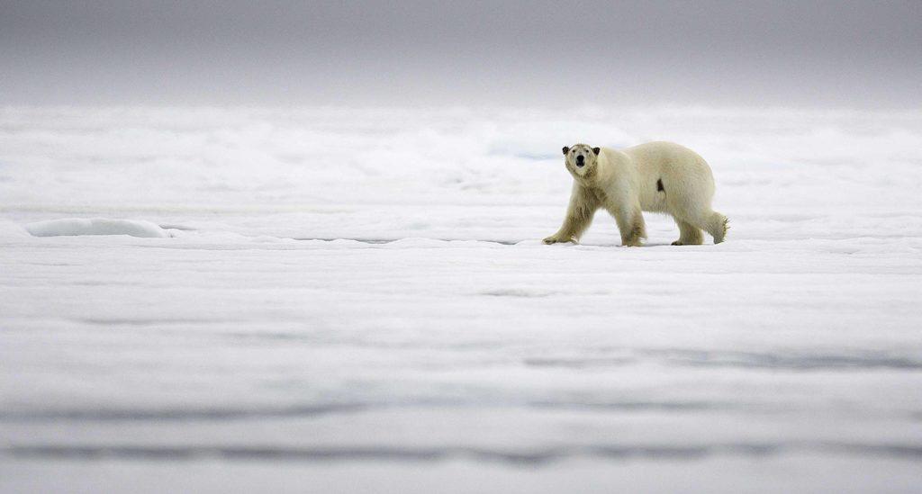 Observation de l'ours polaire sur la banquise lors de la croisière au Spitzberg