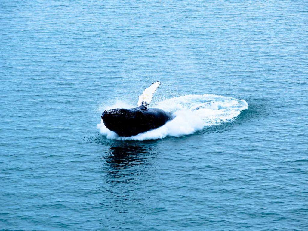 Observation des baleines au Spitzberg