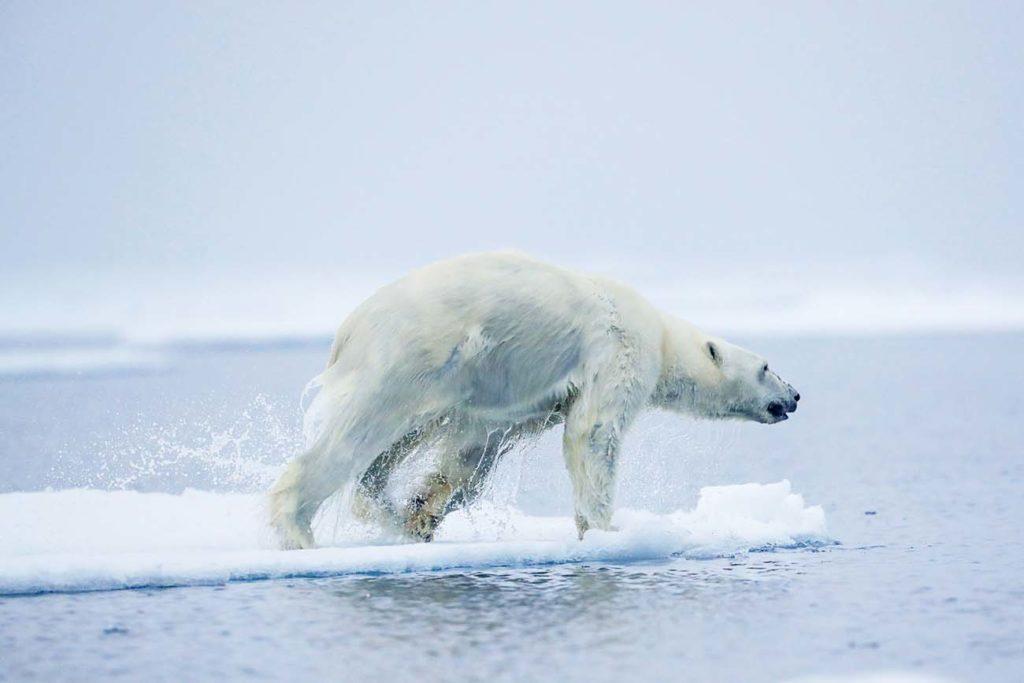Découverte de l'ours polaire lors d'une croisière au Spitzberg