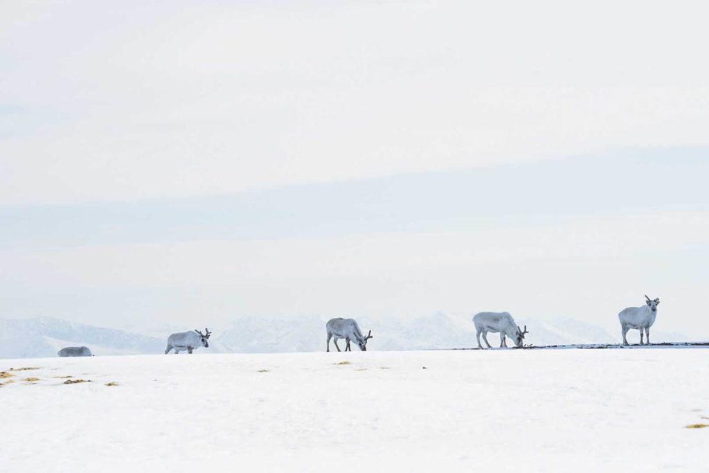 Observation des rennes lors d'une croisière au Spitzberg