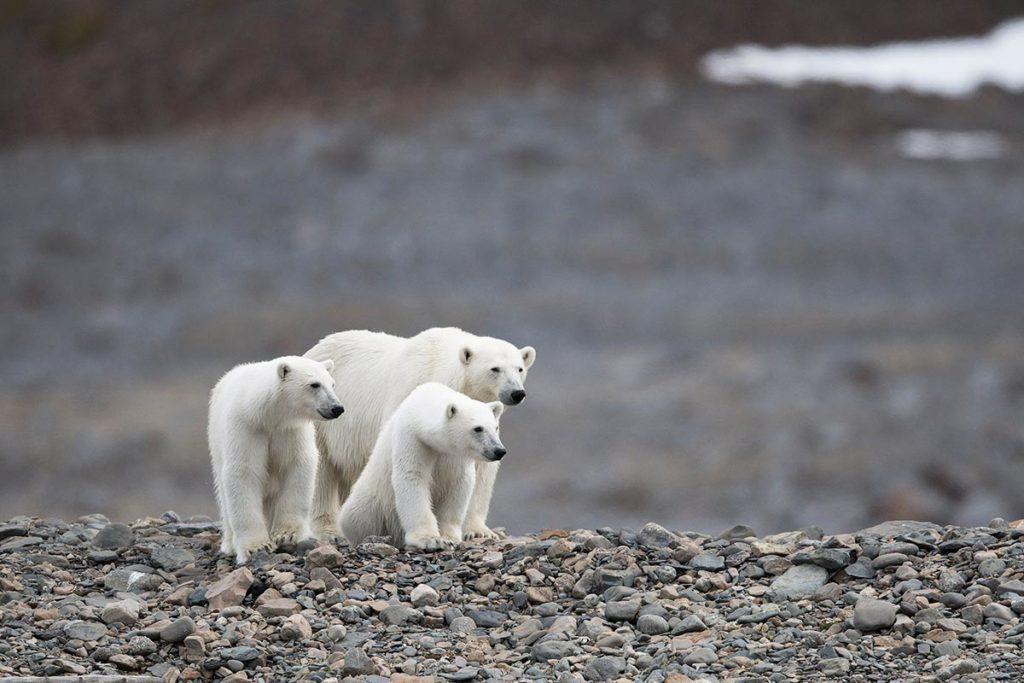 Ours polaires - Croisière Spitzberg