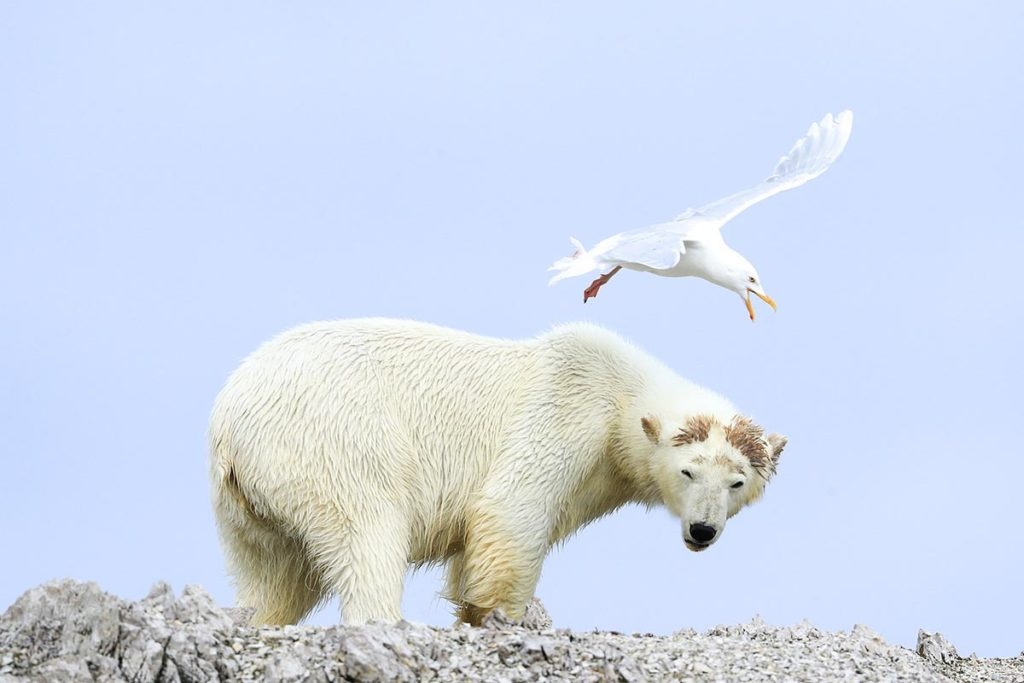 ours polaire et mouette-spitzberg