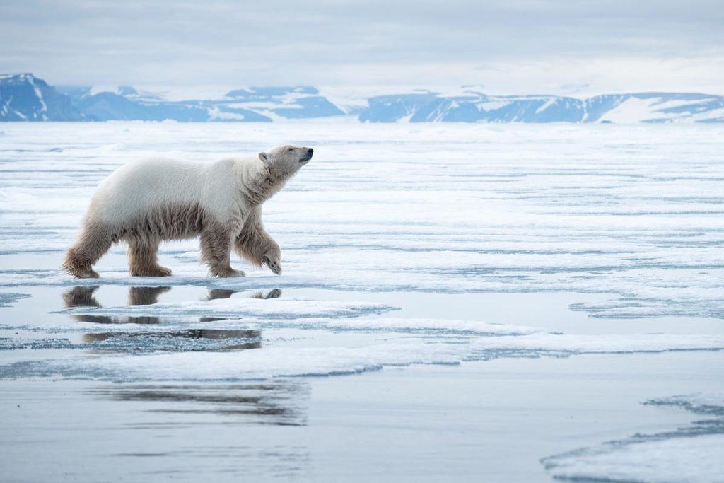 Observation de l'ours polaire au Spitzberg