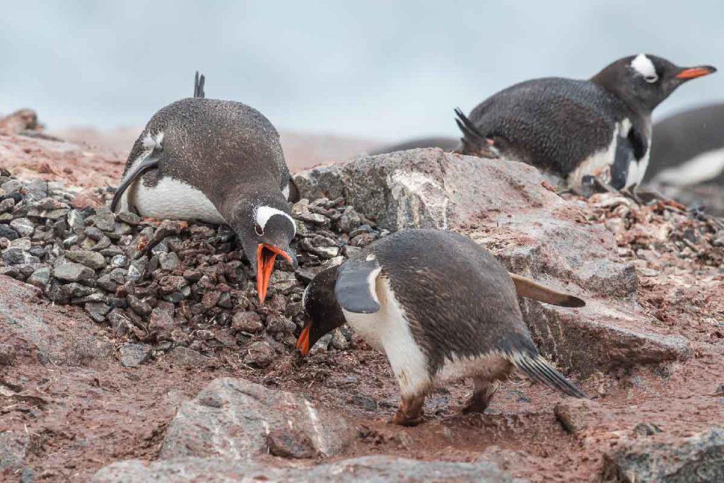 Croisière Antarctique - Manchots Papou - Grands Espaces