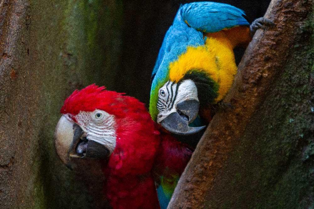 Ara Amazonie