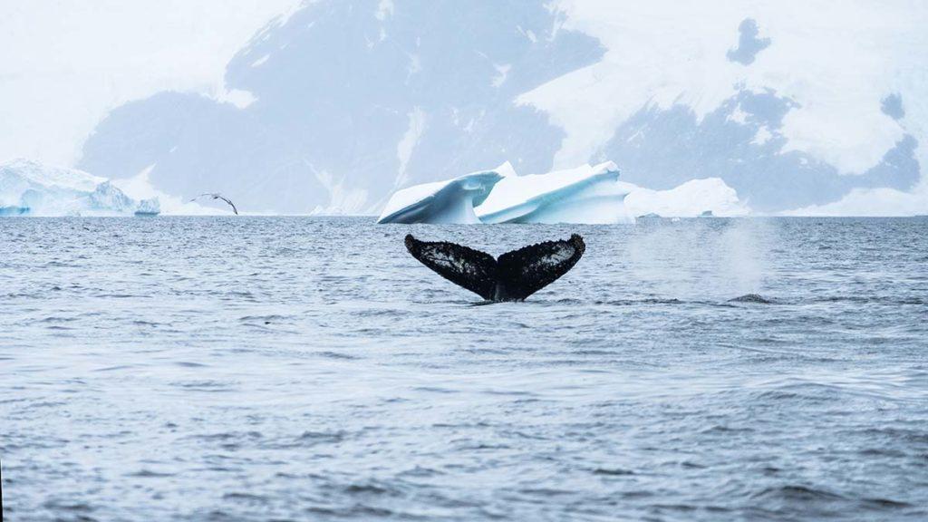 Baleine - Croisière Antarctique