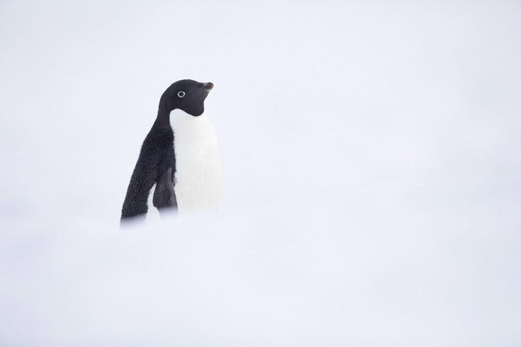 Manchot Adélie - Croisière Antarctique
