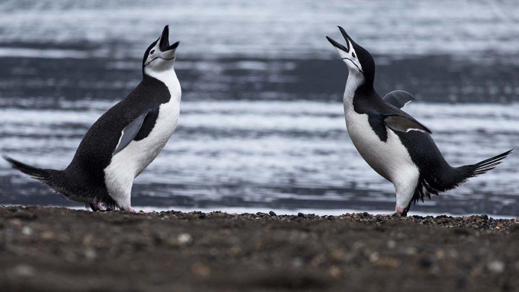 Manchots à jugulaire - Croisière Antarctique