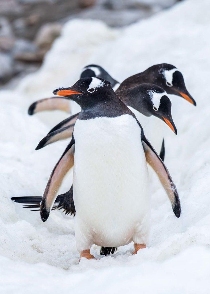Manchots papous - croisière Antarctique
