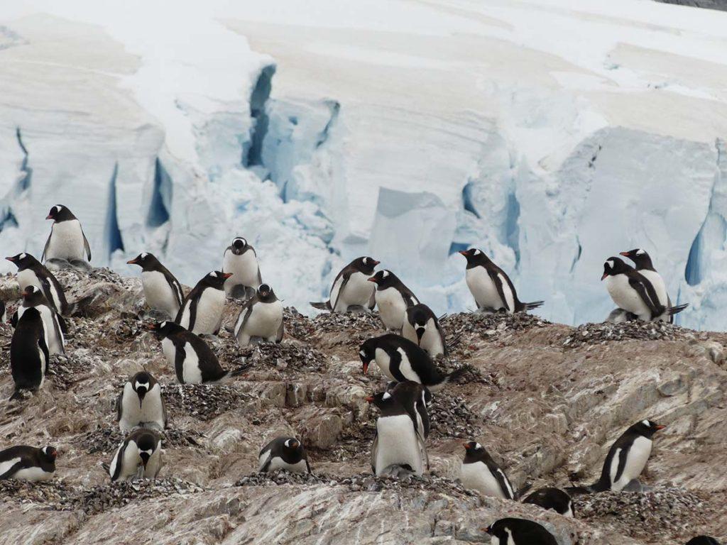 Découverte des manchots Papous sur l'ile de Cuverville en Antarctique