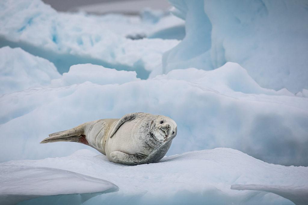 Phoque crabier - Croisière Antarctique
