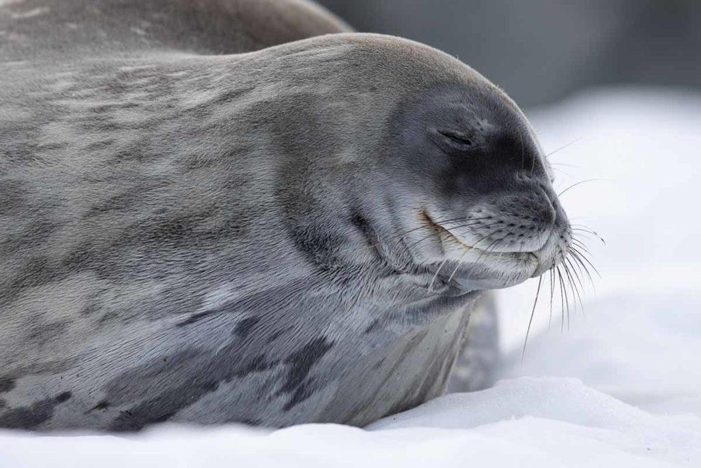 Phoque - croisière Antarctique