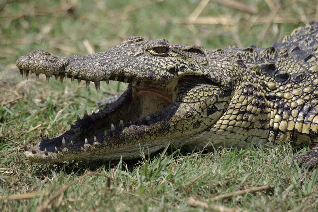 Crocodile - Ouganda