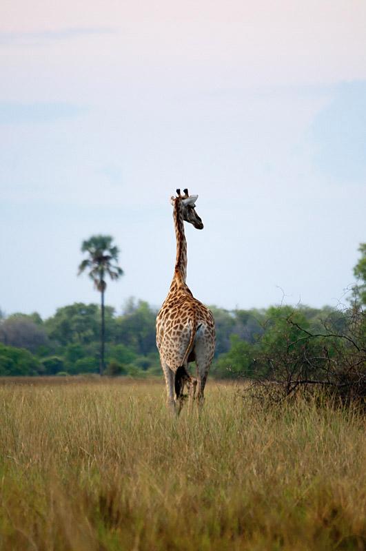 Giraphe - Ouganda