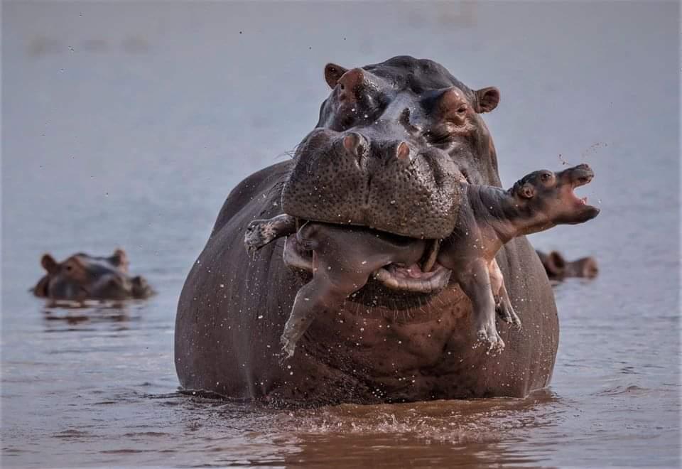 Hippopotames - Circuit Afrique