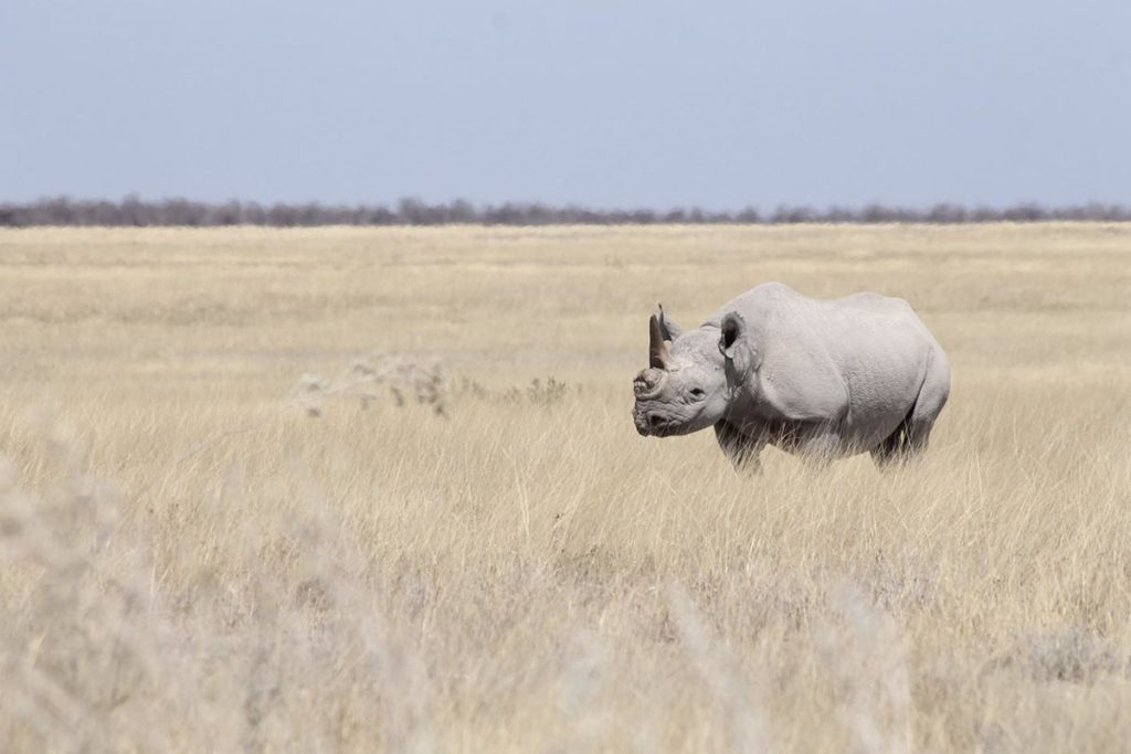 Rhinocéros Blanc - Circuit Ouganda