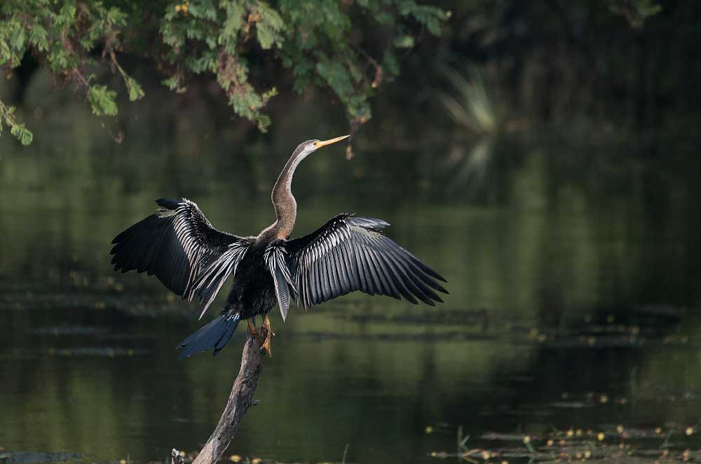 Oiseaux Nepal