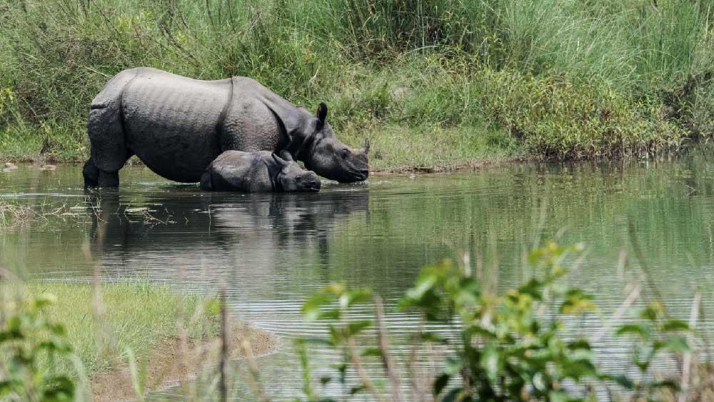 Rhinoceros Nepal