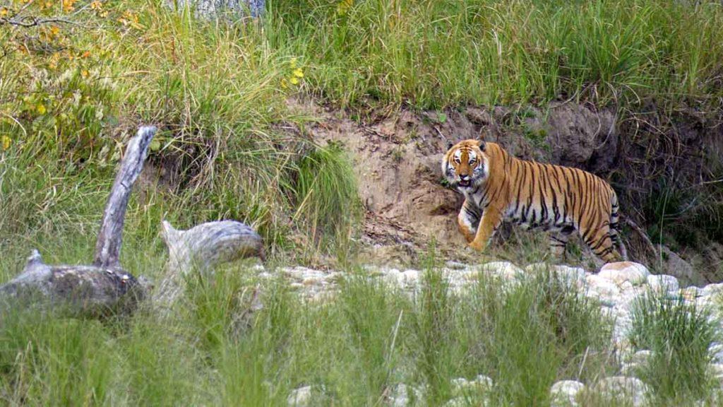 Tigre - Népal
