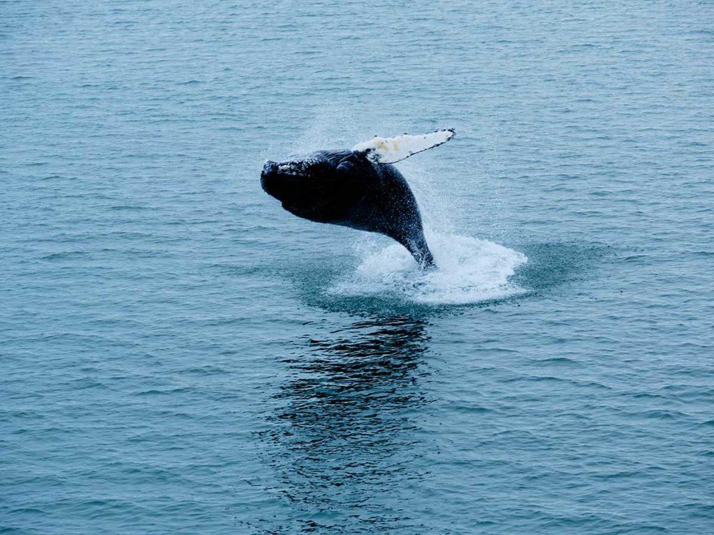 Baleine à bosse - Arctique