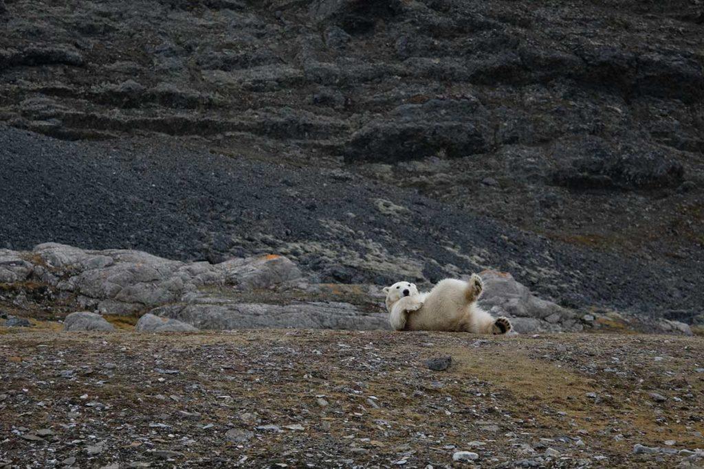 Ours polaire - Arctique