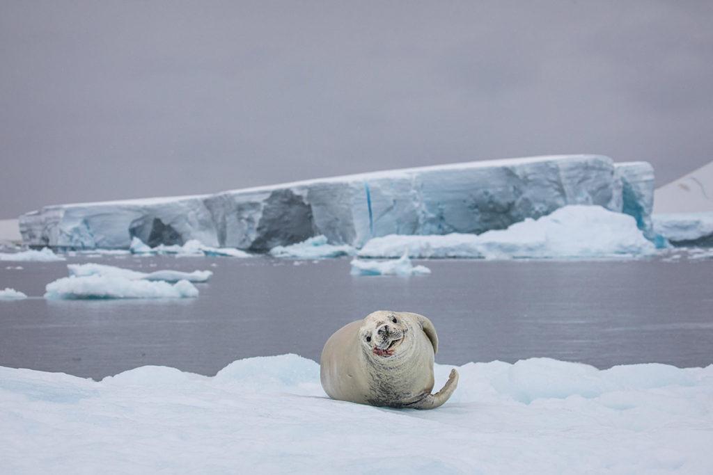 Phoque - Antarctique