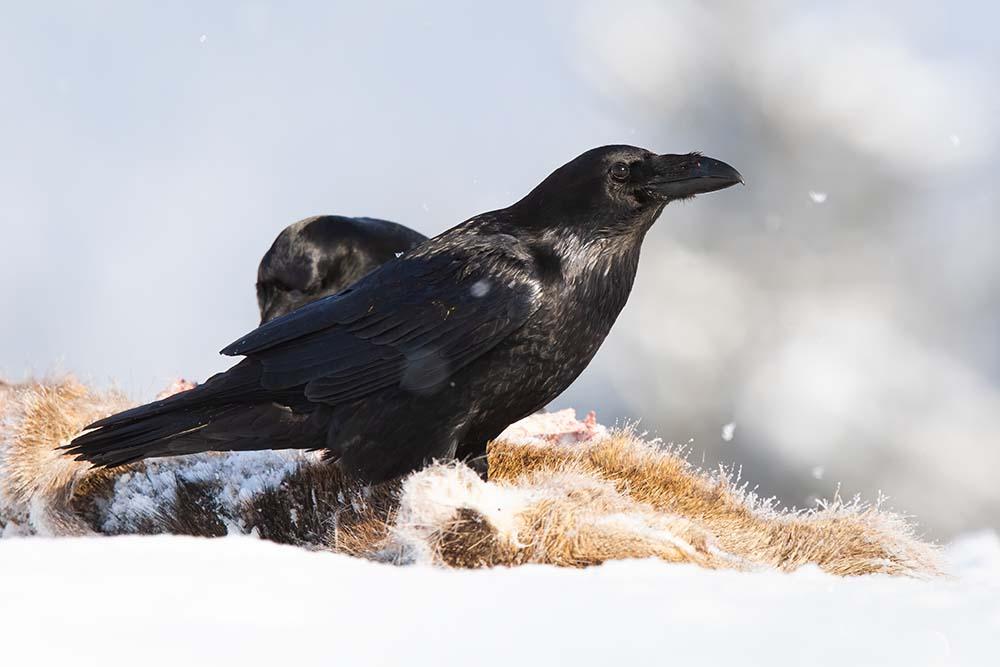 Common raven standing on prey in snow in wintertime.