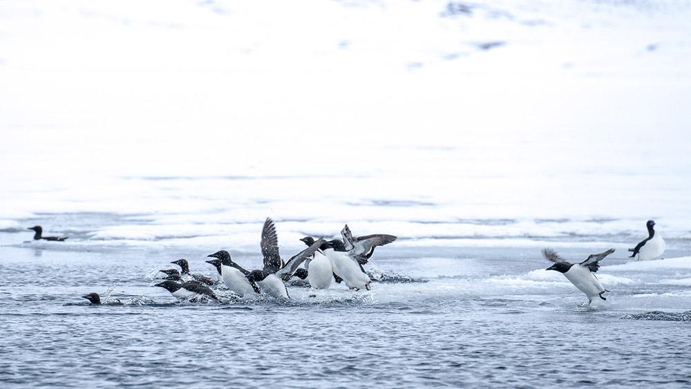 Pingouin Torda