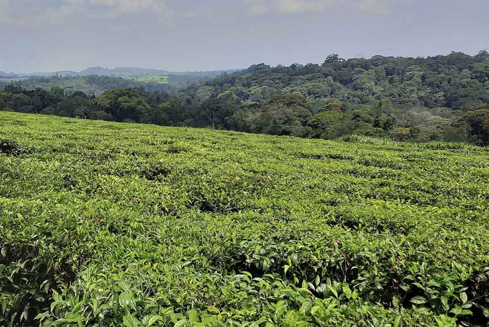 Culture de thé OUganda