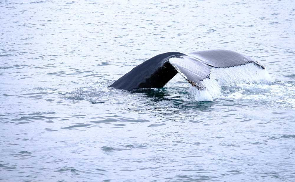 Baleine à bosse Islande