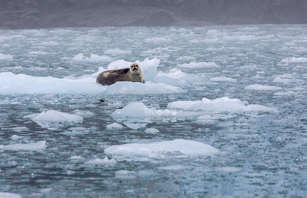 Svalbard Phoque