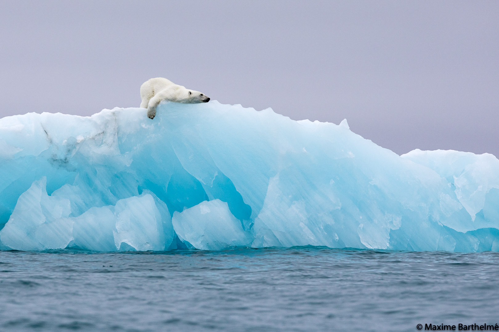 Ours polaire iceberg