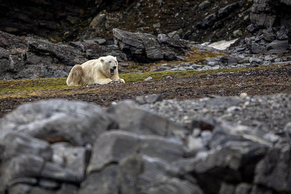 Ours Polaire Svalbard