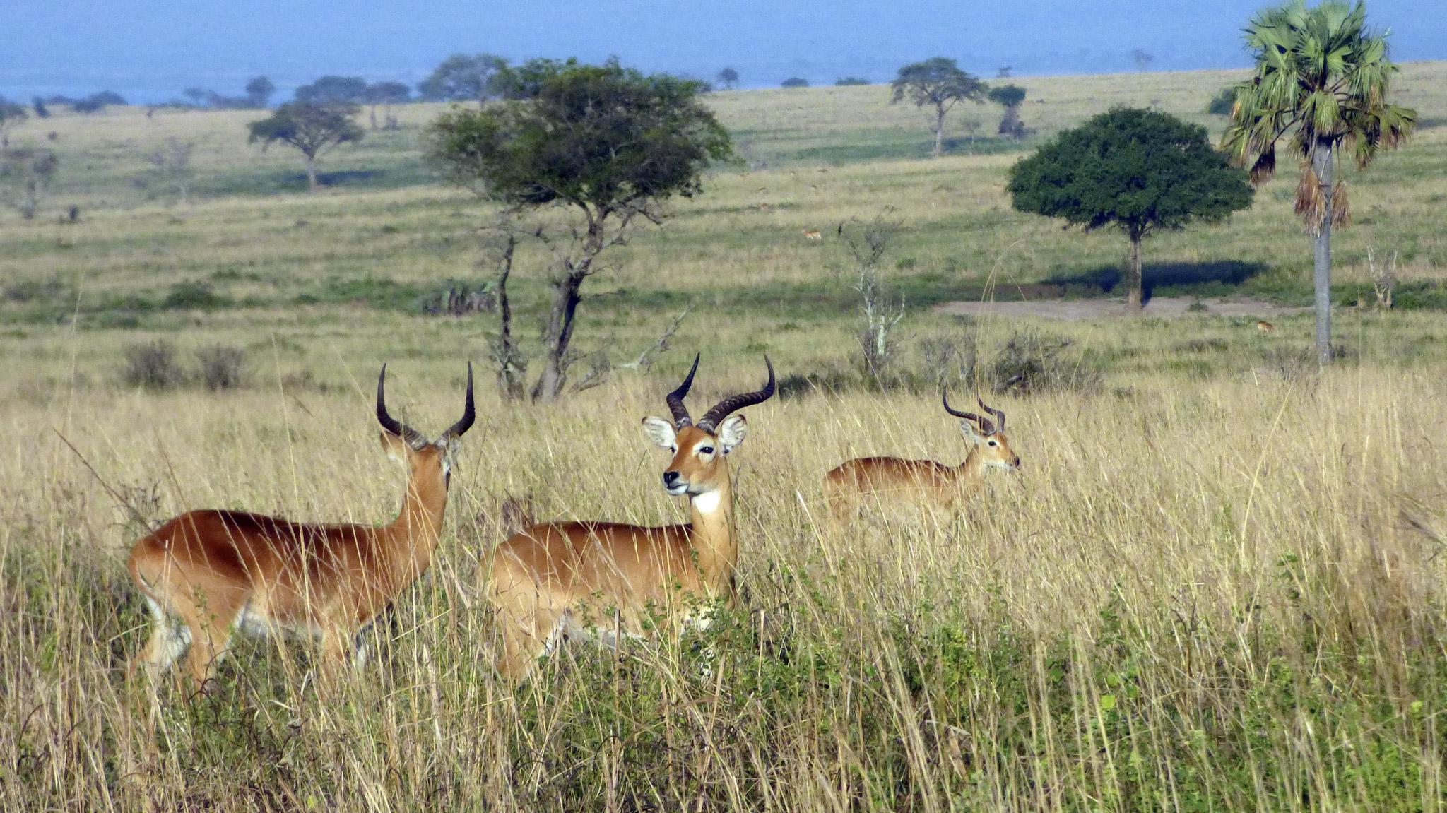 Antilopes Ouganda