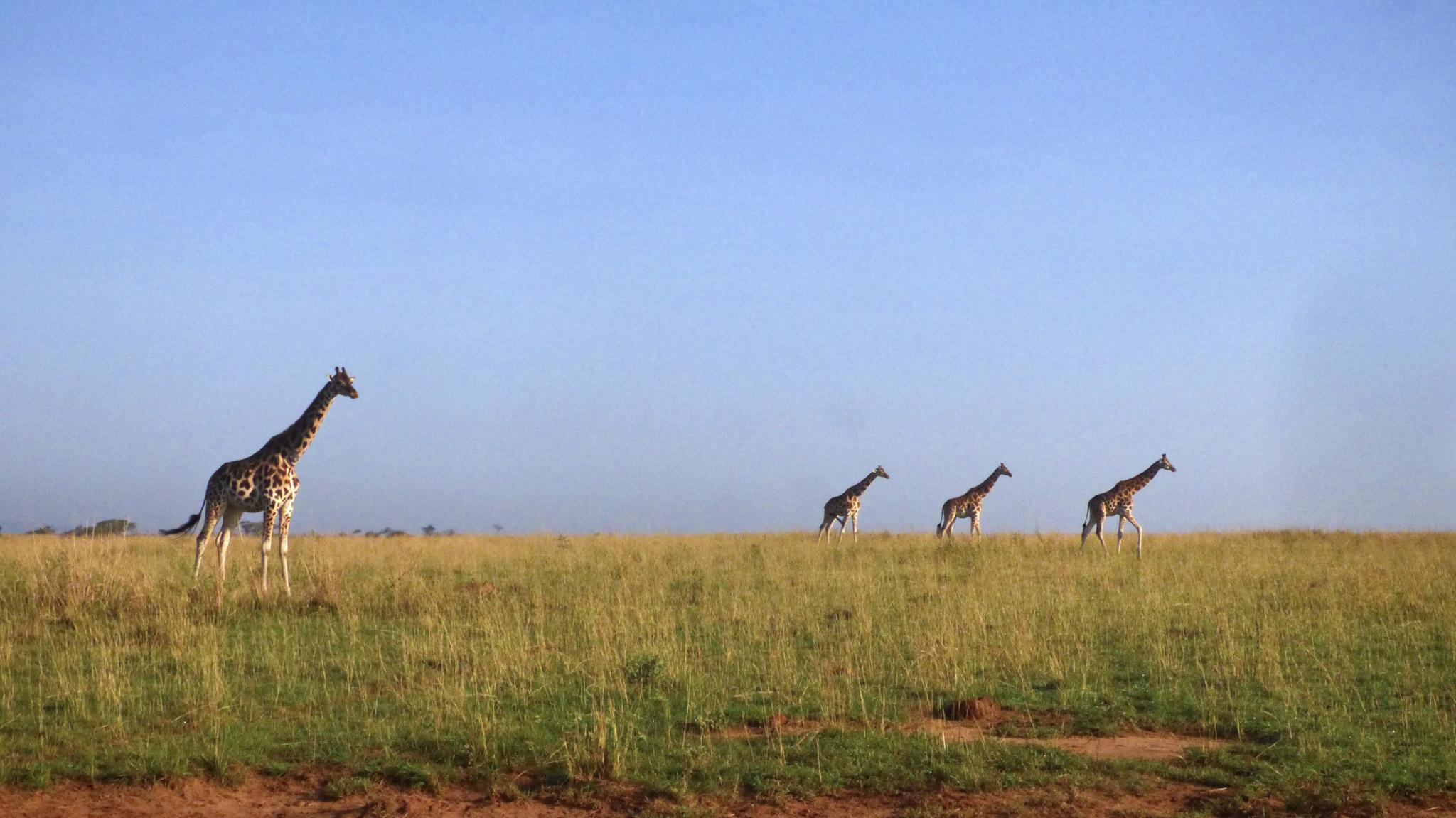 Ouganda girafes