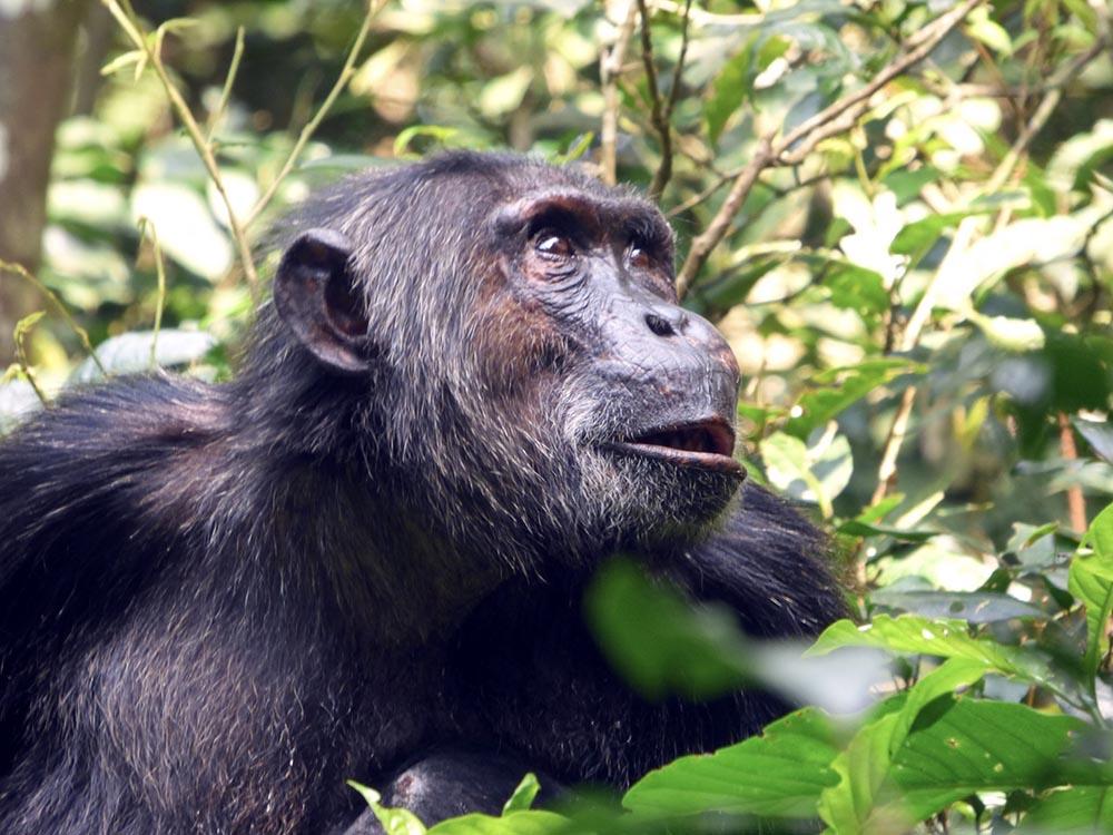 Chimpanzé Ouganda