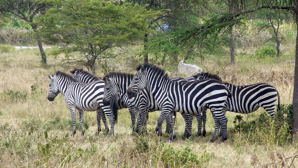 Zèbres Ouganda