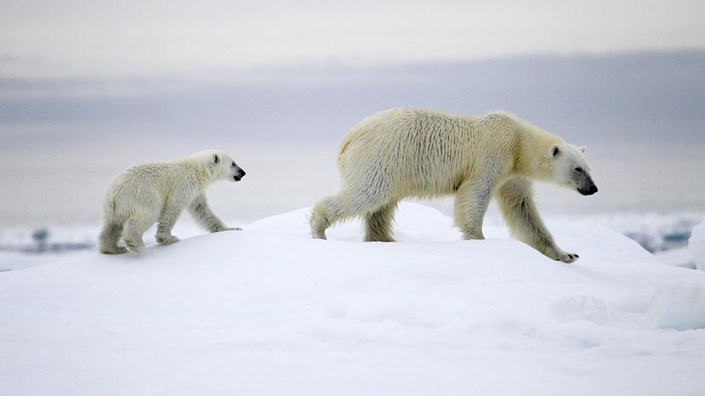 Ours polaire et ourson