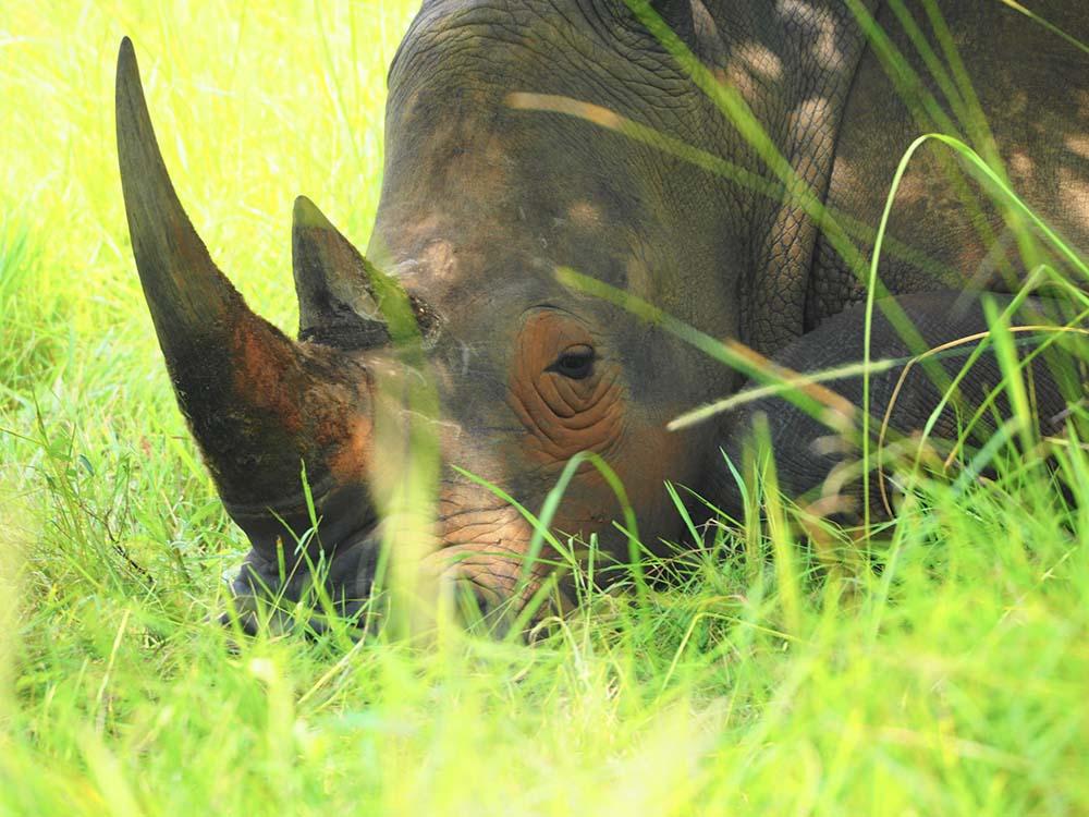 Rhinocéros Ouganda