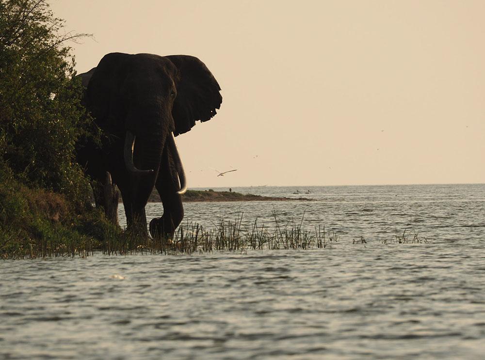 Elephant Ouganda