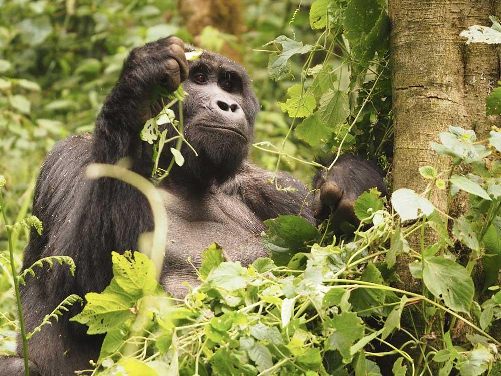 Gorille OUganda