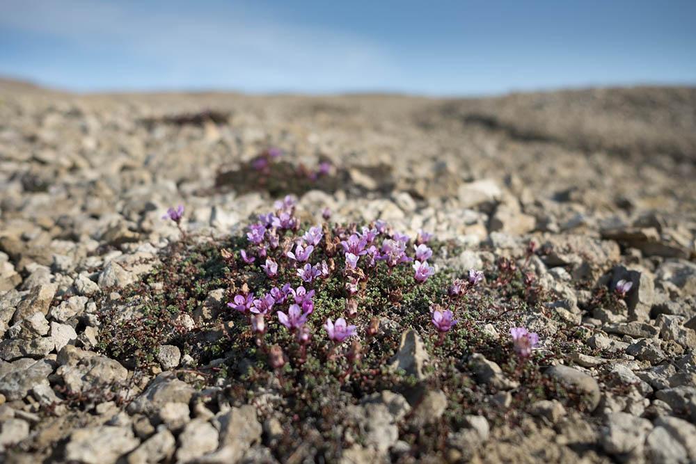 Flore arctique