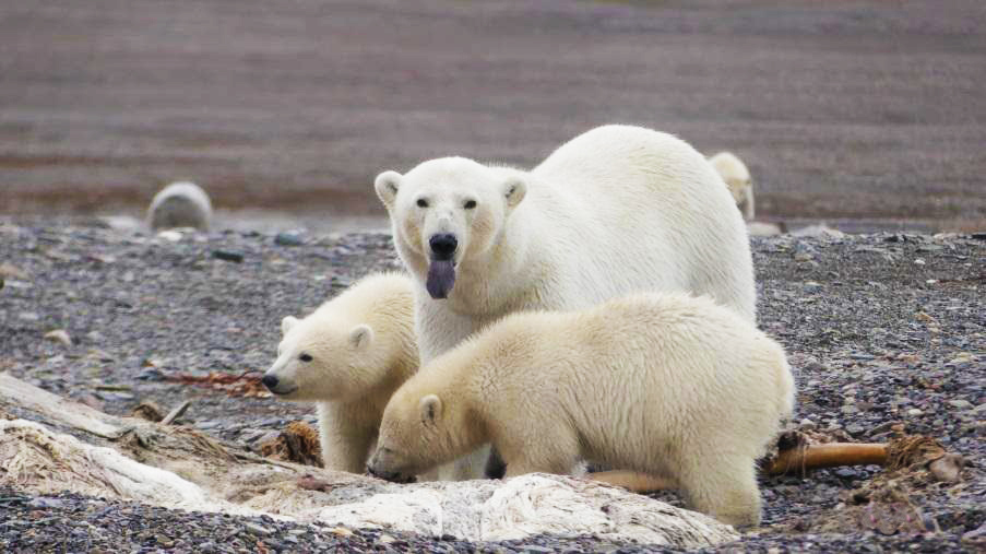 Ours et oursons Svalbard