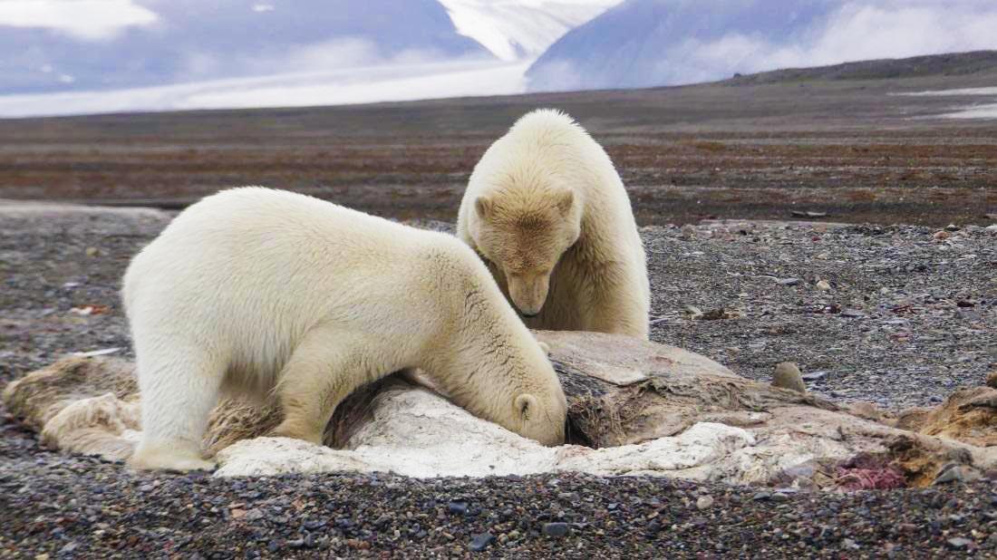 Ours cadavre de baleine